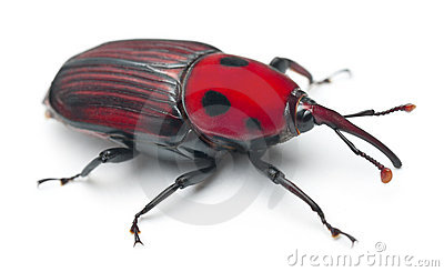 Female Red palm weevil