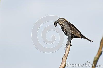 Female Red-Winged Blackbird Holding Dead Prey