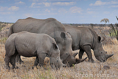 Female rhino with 2 calves in Kruger NP,South Africa