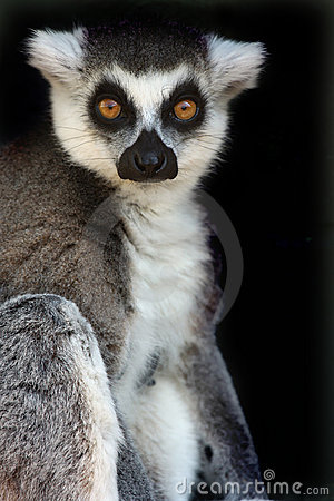 Female Ringtailed Lemur