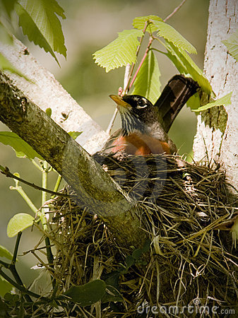Free Female Robin In Nest In Tree Royalty Free Stock Image - 13857006