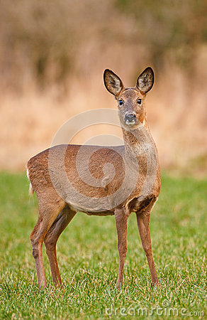 Free Female Roe Deer Royalty Free Stock Image - 25982256