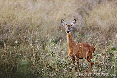 Female roe-deer in late summer color