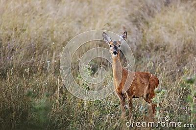 Female roe-deer in late summer color