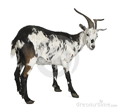Free Female Rove Goat, 3 Years Old Stock Photos - 14539413