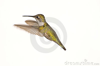 Female Ruby Red Throat Hummingbird