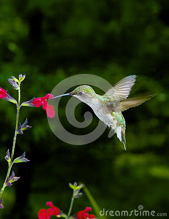 Free Female Ruby-Throated Hummingbird Stock Photography - 28143352