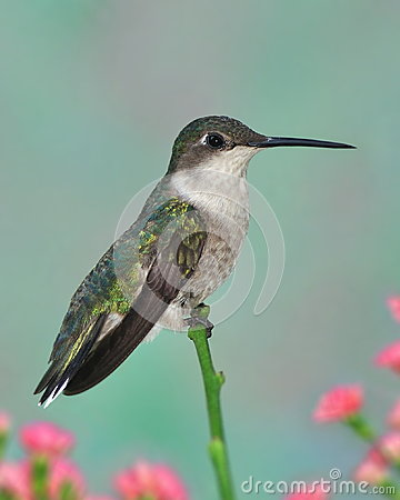 Free Female Ruby-throated Hummingbird (Archilochus Colubris) Stock Photography - 32214792