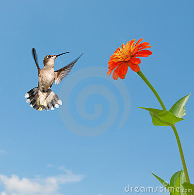 Female Ruby-throated hummingbird flying
