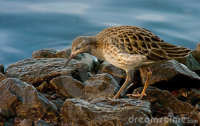 Female Ruff on the Rocks
