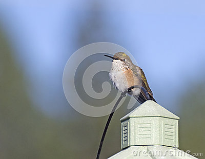 Female Rufus Hummingbird Sitting on House