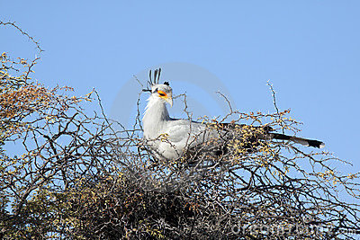 A female secretary bird