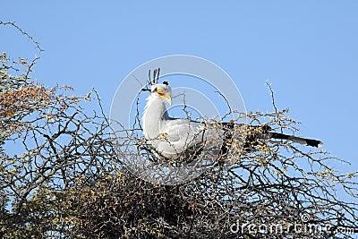 A female secretary bird