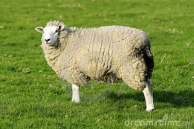 Female Sheep