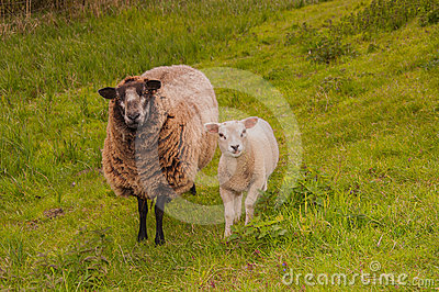 Female sheep with her lamb staning at a dike