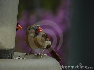 Female and shy male cardinal