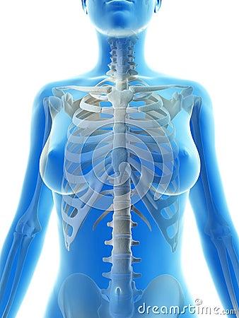 The female skeleton
