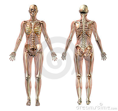 Free Female Skeleton With Transparent Muscles - With Clipping Path Stock Photography - 450882