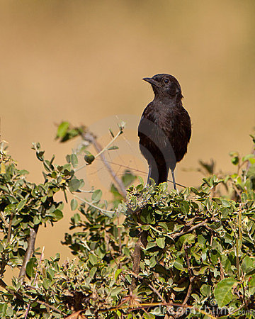 The female Sooty Chat