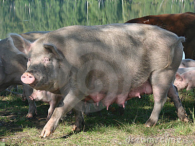 Female sow pig