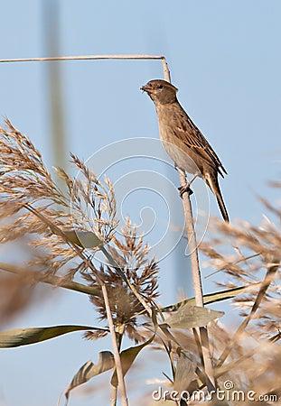 A female spanish Sparrow on a twig