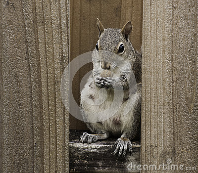Female Squirrel Eating Nut on Fence