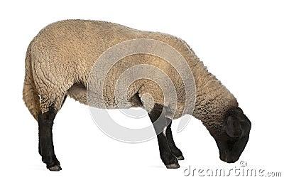 Female Suffolk sheep, Ovis aries, 2 years old