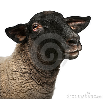 Female Suffolk sheep, Ovis aries, 2 years old