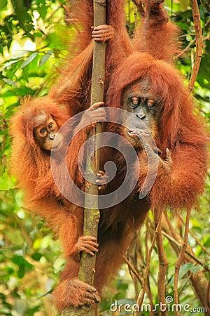 Free Female Sumatran Orangutan With A Baby Sitting On A Tree In Gunun Stock Image - 103158401