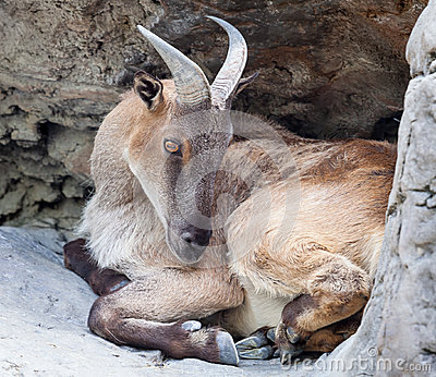 Female Tahr Curled up in a Hollow in the Rockface