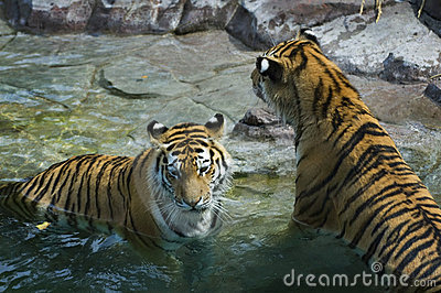 Female Tigers (Panthera tigris altaica) Rest in Pool