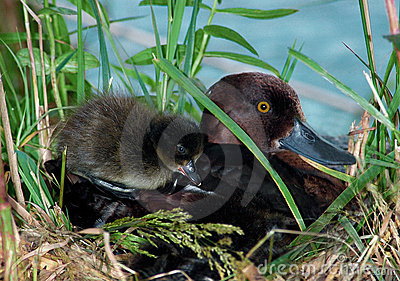 Female of Tufted duck and duckling