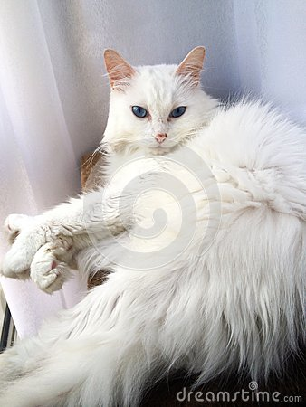 Female Turkish Angora cat with blue eyes