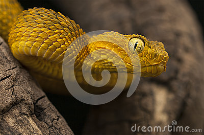 Female variable bush viper