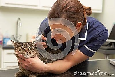 Female Veterinary Surgeon Examining Cat In Surgery