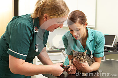 Female Veterinary Surgeon And Nurse Examining Cat