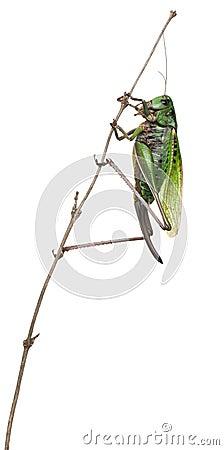 Female wart-biter