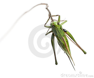 Female wart-biter, a bush-cricket