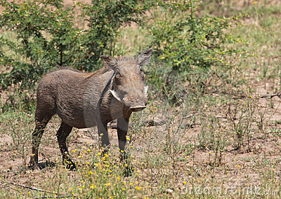 Female warthog from front
