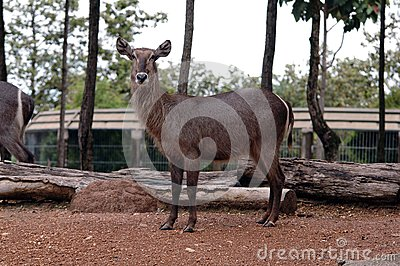 The Female Water Buck