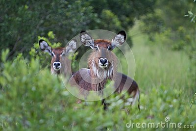 Female Water Bucks