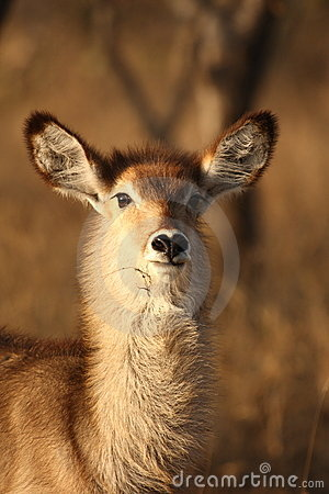 Free Female Waterbuck Stock Photo - 5512280