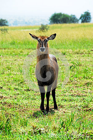 Free Female Waterbuck , Kidepo Valley National Park Stock Photo - 26427400