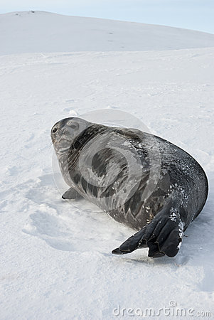 Female Weddell seal lying on a ski slope.