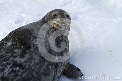 Female Weddell seal lying in the snow winter
