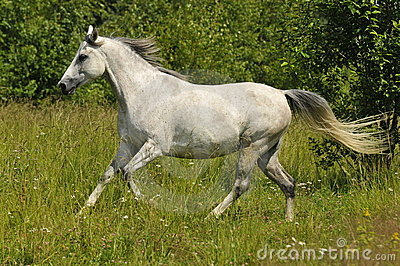 Female white horse running gallop wild
