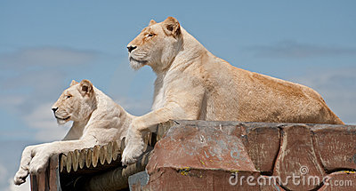 Female White Lionesses