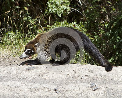 Female White-Nosed Coatimundi