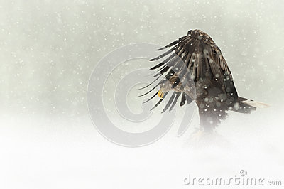 Female White-tailed Eagle in heavy snow