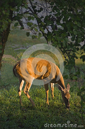 Free Female Whitetail Deer (Odocoileus Virginianus) Stock Photography - 39259432